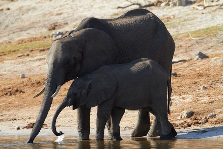 A herd of African elephants (Loxodonta Africana) on the banks of the Chobe River in Botswana drinking water Stock Photo - 7788703