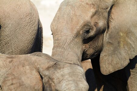 A herd of African elephants (Loxodonta Africana) on the banks of the Chobe River in Botswana drinking water Stock Photo - 7788761