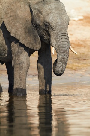 A herd of African elephants (Loxodonta Africana) on the banks of the Chobe River in Botswana drinking water Stock Photo - 7788768