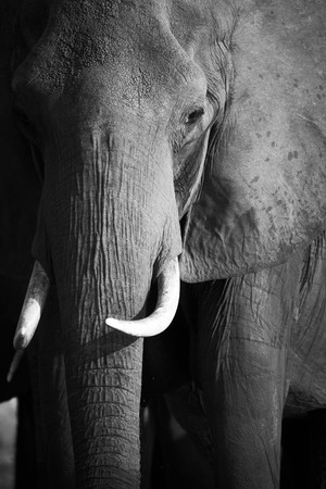 africana: Portrait of an African elephant (Loxodonta Africana) on the banks of the Chobe River in Botswana drinking water
