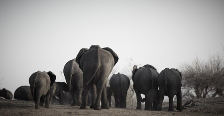 A herd of African elephants (Loxodonta Africana) on the banks of the Chobe River in Botswana walking away from the river