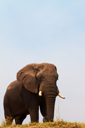Large African elephant (Loxodonta Africana) on the banks of the Chobe River in Botswana drinking water and playing in the mud Stock Photo - 8180007