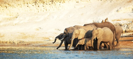 A herd of African elephants (Loxodonta Africana) on the banks of the Chobe River in Botswana drinking water Stock Photo - 11705943