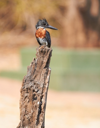predominantly: The lesser seen Giant Kingfisher male (Megaceryle maximus) with its copper or chestnut coloured chest on the banks of the Chobe River in Botswana watching for prey. The Giant Kingfisher is predominantly found in Sub Saharan Africa Stock Photo