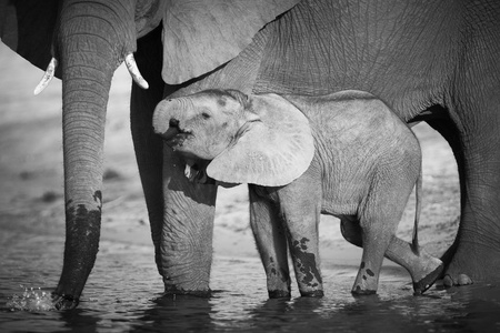 A herd of African elephants (Loxodonta Africana) on the banks of the Chobe River in Botswana drinking water, with juveniles and a calf Stock Photo - 11706086