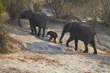 A herd of African elephants (Loxodonta Africana) on the banks of the Chobe River in Botswana drinking water, with juveniles and a calf photo
