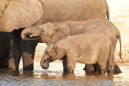 botswana: A herd of African elephants (Loxodonta Africana) on the banks of the Chobe River in Botswana drinking water Stock Photo