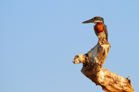 chestnut male: The lesser seen Giant Kingfisher male (Megaceryle maximus) with its copper or chestnut coloured chest on the banks of the Chobe River in Botswana watching for prey. The Giant Kingfisher is predominantly found in Sub Saharan Africa Stock Photo