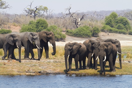 A herd of African elephants (Loxodonta Africana) on the banks of the Chobe River in Botswana drinking water Stock Photo - 11706102