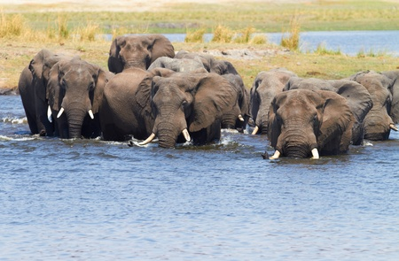 A herd of African elephants (Loxodonta Africana) on the banks of the Chobe River in Botswana drinking water Stock Photo