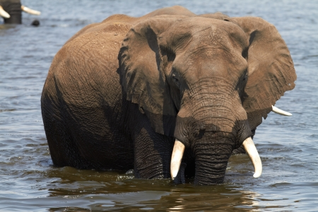 africana: A herd of African elephants (Loxodonta Africana) on the banks of the Chobe River in Botswana drinking water Stock Photo