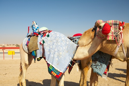 Robot controlled camel racing in the desert of Qatar, Middle East, on a sunny day. Racing camels warming up in the morning sun on the Racetrack photo