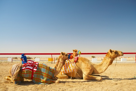 saddle camel: Robot controlled camel racing in the desert of Qatar, Middle East, on a sunny day. Racing camels warming up in the morning sun on the Racetrack