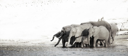 A herd of African elephants  Loxodonta Africana  on the banks of the Chobe River in Botswana drinking water in a Black and White Panorama photo
