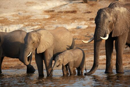 A herd of African elephants  Loxodonta Africana  on the banks of the Chobe River in Botswana drinking water Stock Photo - 12805023