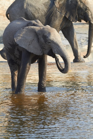 A herd of African elephants  Loxodonta Africana  on the banks of the Chobe River in Botswana drinking water photo