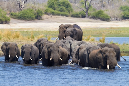 africana: A herd of African elephants  Loxodonta Africana  on the banks of the Chobe River in Botswana drinking water Stock Photo