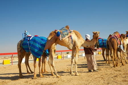 saddle camel: Robot controlled camel racing in the desert of Qatar, Middle East, on a sunny day  Racing camels warming up in the morning sun on the Racetrack