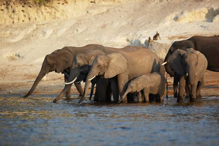A herd of African elephants  Loxodonta Africana  on the banks of the Chobe River in Botswana drinking water Stock Photo - 14236022
