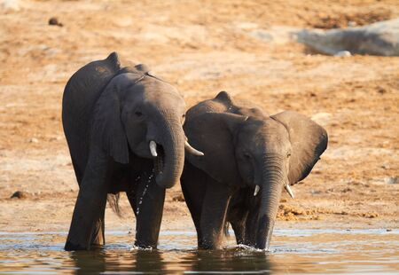 A herd of African elephants  Loxodonta Africana  on the banks of the Chobe River in Botswana drinking water Stock Photo - 14236020