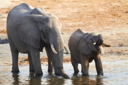 A herd of African elephants  Loxodonta Africana  on the banks of the Chobe River in Botswana drinking water Stock Photo - 14236024