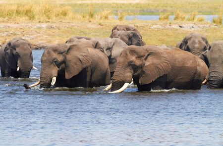 A herd of African elephants  Loxodonta Africana  on the banks of the Chobe River in Botswana drinking water Stock Photo - 14236027