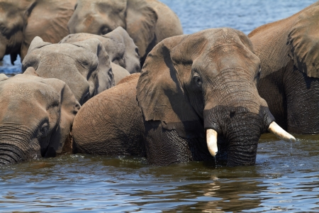 A herd of African elephants  Loxodonta Africana  on the banks of the Chobe River in Botswana drinking water Stock Photo - 14236032