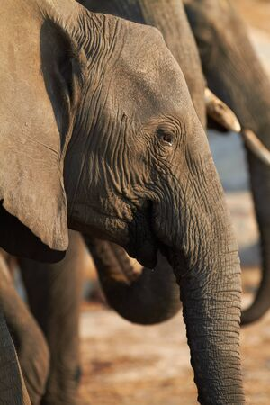 A herd of African elephants  Loxodonta Africana  on the banks of the Chobe River in Botswana drinking water Stock Photo - 14236030