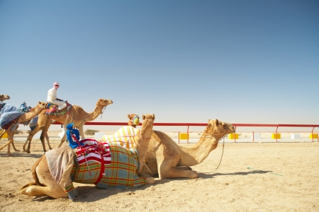 Robot controlled camel racing in the desert of Qatar, Middle East, on a sunny day  Racing camels warming up in the morning sun on the Racetrack Stock Photo - 14236021