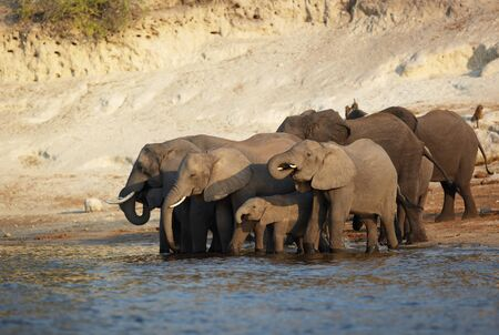 A herd of African elephants  Loxodonta Africana  on the banks of the Chobe River in Botswana drinking water Stock Photo - 17369746