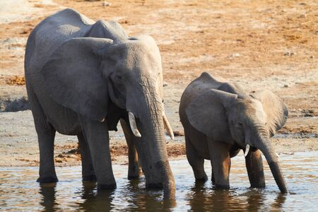 A herd of African elephants  Loxodonta Africana  on the banks of the Chobe River in Botswana drinking water, with juveniles and a calf Stock Photo - 17347512