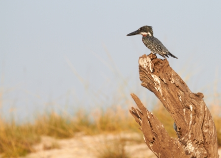 The lesser seen Giant Kingfisher male  Megaceryle maximus  with its copper or chestnut coloured chest on the banks of the Chobe River in Botswana watching for prey  Stock Photo - 17347073