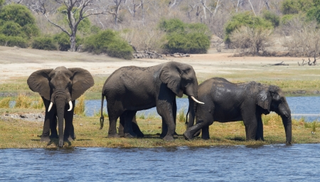 A herd of African elephants  Loxodonta Africana  on the banks of the Chobe River in Botswana drinking water Stock Photo - 17347505