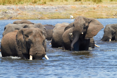 A herd of African elephants  Loxodonta Africana  on the banks of the Chobe River in Botswana drinking water Stock Photo - 17347516