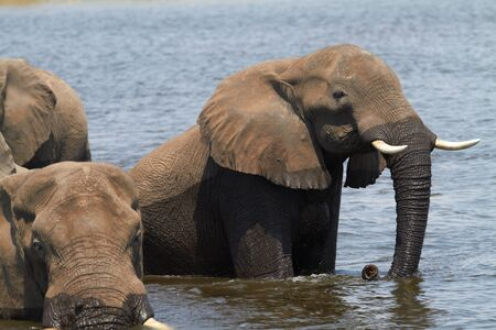 A herd of African elephants  Loxodonta Africana  on the banks of the Chobe River in Botswana drinking water Stock Photo - 17347513