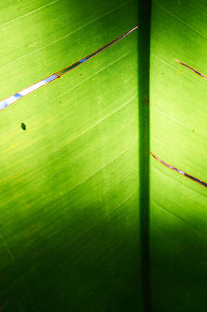Background texture of a palm leaf with sun shining from behind the leaf  Shallow depth of field Stock Photo - 17347054