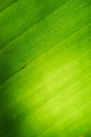 Background texture of a palm leaf with sun shining from behind the leaf  Shallow depth of field Stock Photo - 17330638