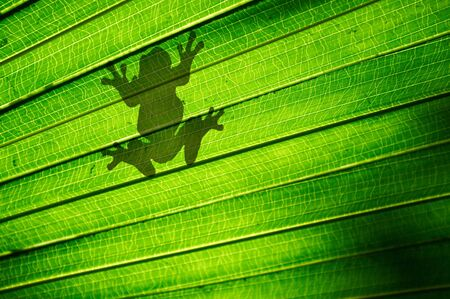 Shadow outline of a frog sitting on a green palm leaf Stock Photo - 17347092