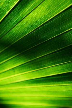Background texture of a palm leaf with sun shining from behind the leaf  Shallow depth of field Stock Photo - 17330641