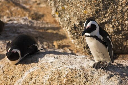 Jackass Penguins (Spheniscus demersus) from the Simons Town Colony, Western Cape, South Africa Stock Photo - 19372650