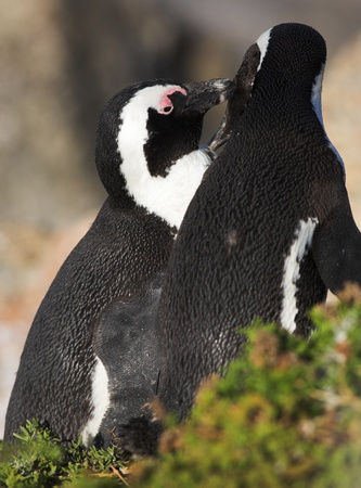 Jackass Penguins (Spheniscus demersus) from the Simons Town Colony, Western Cape, South Africa Stock Photo - 19371902