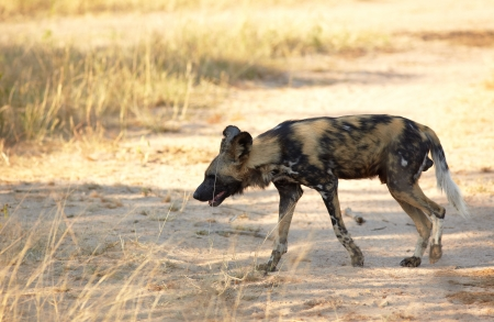 lycaon pictus: The nearly extinct, highly endangered African Wild Dogs, Lycaon Pictus, resting in the african savannah, shallow Depth of Field Stock Photo