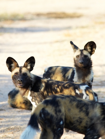 The nearly extinct, highly endangered African Wild Dogs, Lycaon Pictus, resting in the african savannah, shallow Depth of Field photo