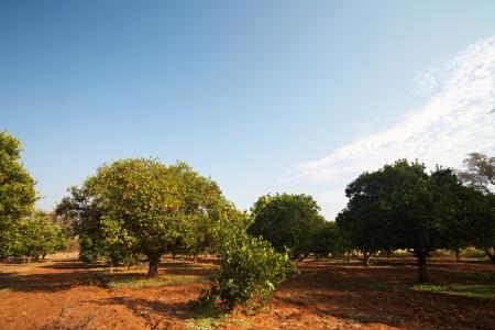 Sinaasappelbomen in een boomgaard op een zonnige winterdag