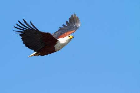 flying eagle: Fish eagle in flight Stock Photo