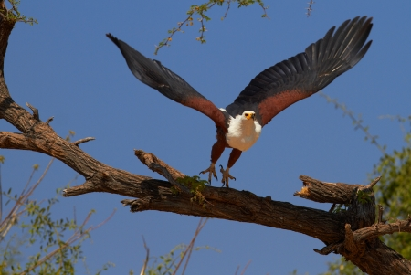 botswana: Fish eagle in a tree on the banks of the Chobe River