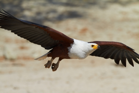 Fish eagle in flight photo
