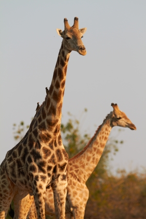 roaming: A pair of giraffes standing on the banks of the Chobe river in Botswana on a sunny summer day