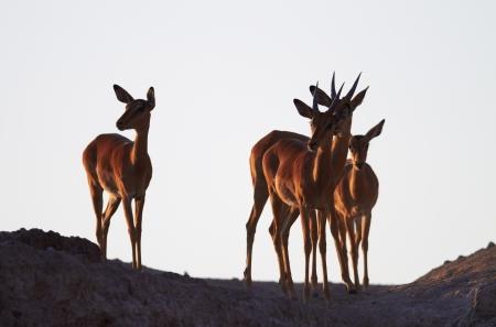 botswana: Impala on the ridge at sunrise, coming to the Chobe River to drink - Botswana Stock Photo