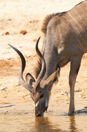 chobe: Greater Kudu  Tragelaphus Strepsceros  drinking water on the banks of the Chobe river between Botswana and Namibia in Southern Africa Stock Photo